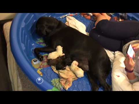 Black Lab Giving Birth To 9 Puppies - 3 Different Lab Colors