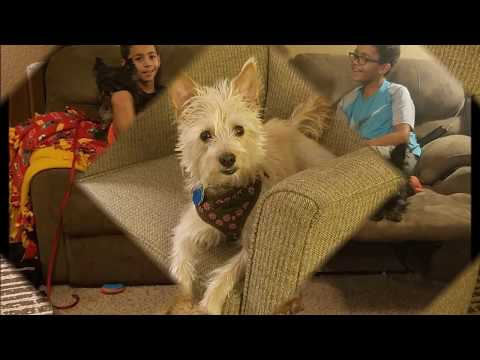 Stacie Lynn is a Cairn Terrier mix available for adoption through Cairn Rescue USA