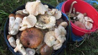 В лес за грибами! (Рыжики,белые,осиновые,челыши,грузди,волнушки)