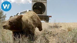 Die Bärenhunde von Nevada (360° - GEO Reportage)