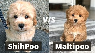 Shihpoo vs Maltipoo | Detailed Comparison of these Two Dog breeds