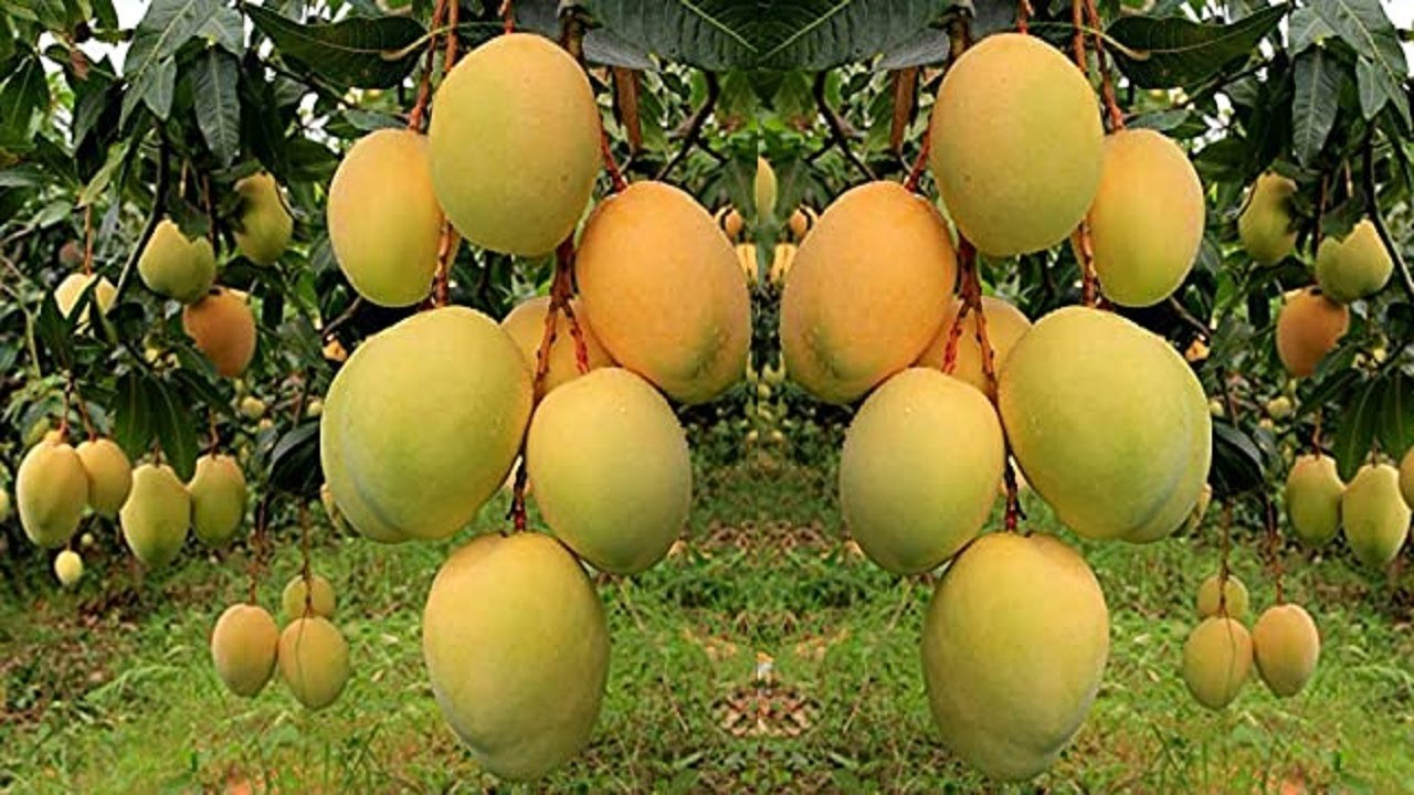 Download Mango Farming to Harvesting Mango and then processing mango and packaging mango into mango factory
