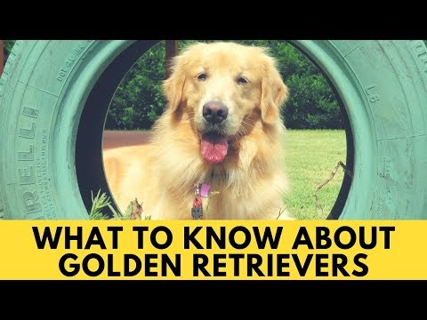 What to know about Golden Retrievers - Character & Temperament