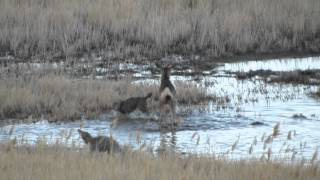 Coyotes attack mule deer on Antelope Island