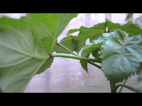 Growing Okra in containers: The beginnings (Part 1)