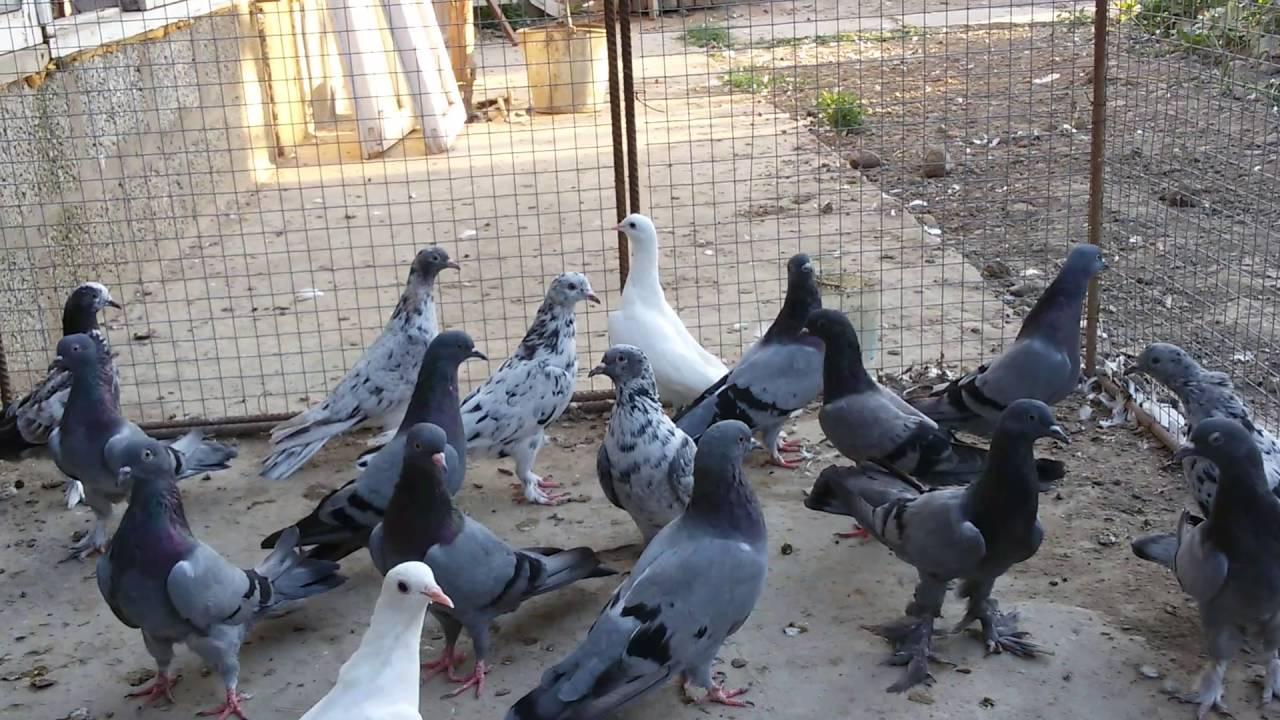 фото голубей в г баку владимир путин картинки