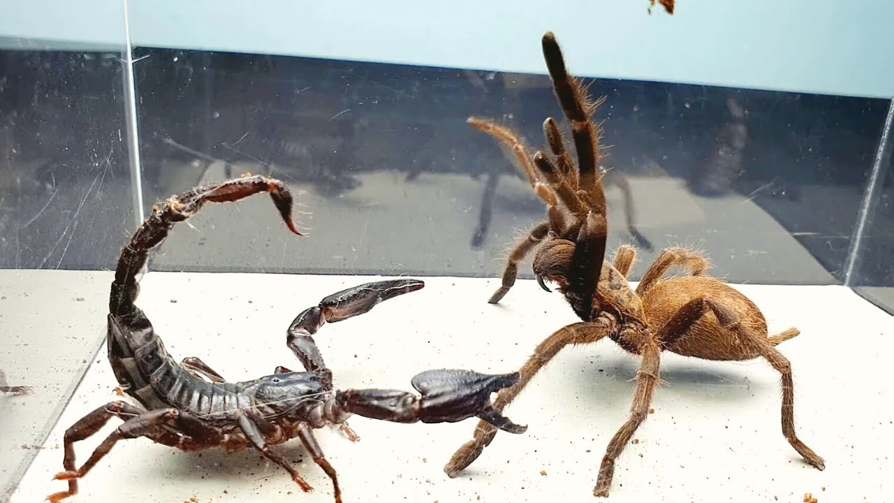 Download SCORPION vs TARANTULA SPIDER FIGHTING FOR PREY, who will win? Insect Stories