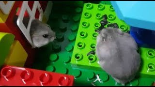 Hamster Lego Obstacle Course maze cute baby [倉鼠迷宮]