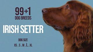 Irish Setter / 99+1 Dog Breeds