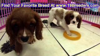 Cavalier King Charles, Puppies, For, Sale, In, Kansas City, Missouri, MO, Ballwin, Wentzville, Unive