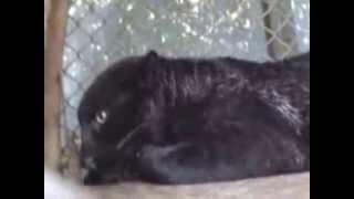 kokan forest black leopard