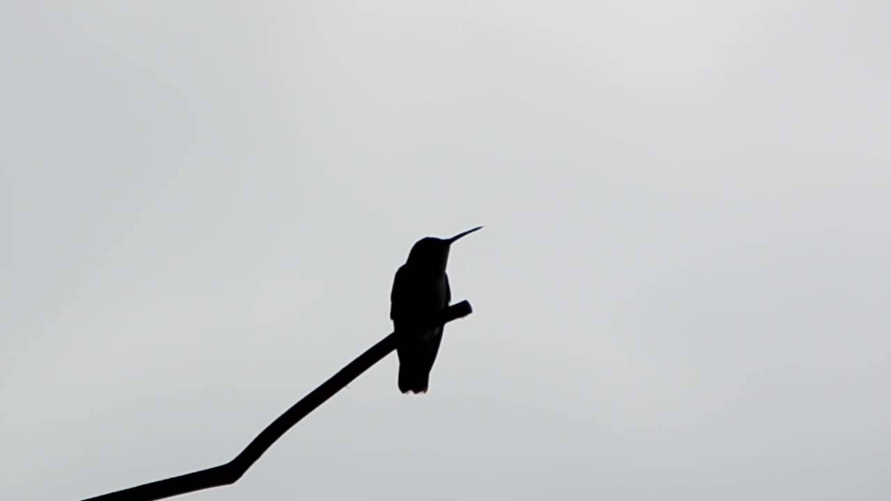 silhouette hummingbird youtube
