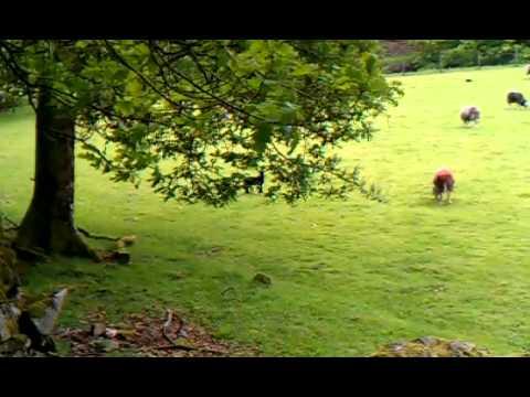 Herdwick lambs Borrowdale