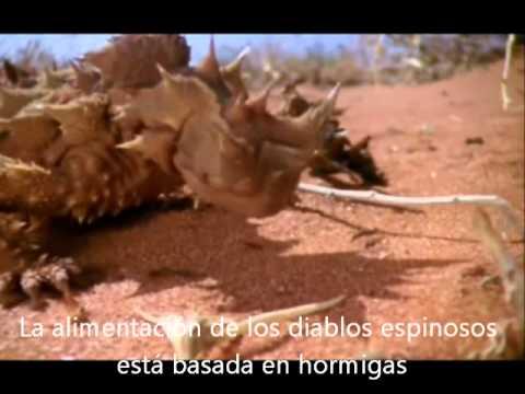 Moloch horridus - Thorny devil.wmv
