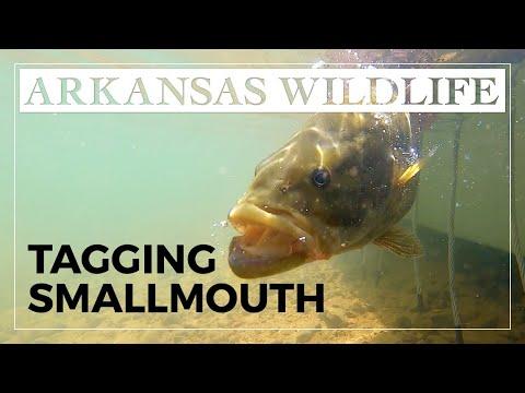 Tagging Big Crooked Creek Smallmouth Bass