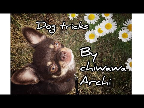 Dog tricks in the country by chihuahua Archi