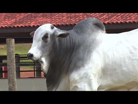 LOTE 09 - EBOMA 7592   42º MEGA LEILÃO ANUAL CARPA TOUROS