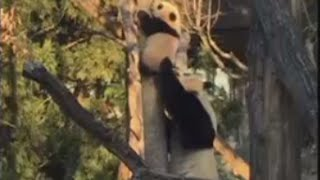 Helping Bei Bei: Mother panda