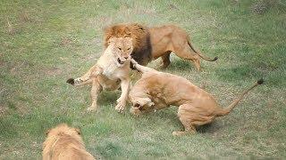 Львицы выясняют отношения | Lionesses find out the relationship.
