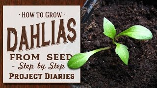 ★ How to: Grow Dahlias from Seed (Step by Step Guide)