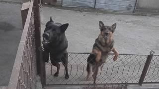 DANGEROUS.Опасные собаки Dog Killer..Немецкие овчарки.Odessa.