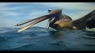 Incredible footage of pelicans diving - Earthflight (Winged Planet)