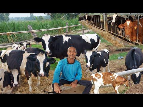เลี้ยงวัวนมขายรายได้ดี!!แค่ขายขี้ยังได้ปีละแสน