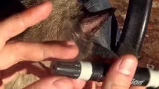 Глюкометр, получение капли крови из уха кошки