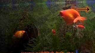 Goldfish Tank - Goldfish swimming around in their tank