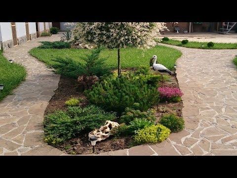 Cосна горная карликовая. ТОП самых популярных растений в наших садах