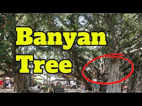 Banyan Tree Maui Hawaii - Maui Banyan Tree Park Lahaina (GoPro HD)