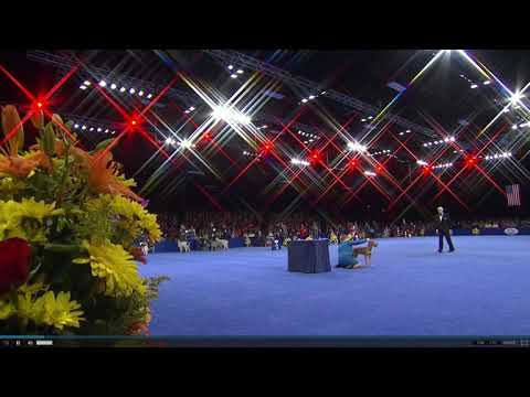 Philadelphia National Dog Show 2016 Wirehaired Vizsla Best of Breed Winner