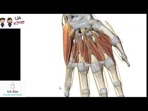 Anatomía Musculos Mano , Origen Inserción, Inervación y Funcion ...