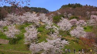山桜が咲く信州の里山・4K撮影