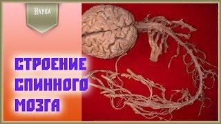 Анатомия человека: строение спинного мозга
