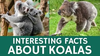 Interesting Facts about Koalas - Animal Videos for Kids and School Education