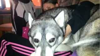 Siberian Husky Aguero Protective Over Owners