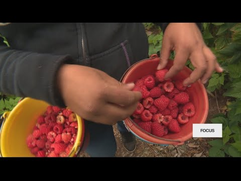 War of the berries: Is Mexico drowning the US market?