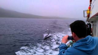 Dolphins Inishbofin - Cleggan