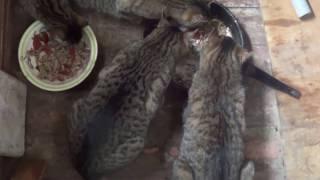Котикам без еды-никак не прожить