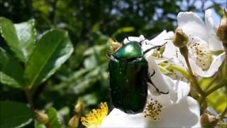 видео Жук щелкун – особенности вида и способы борьбы