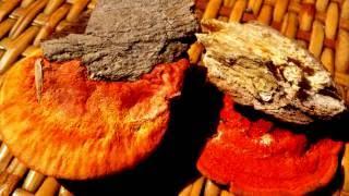 Гриб Антродия камфорная (Красный камфорный гриб)