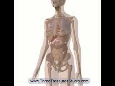 The Movement of the Internal Organs and Abdominal Muscles during