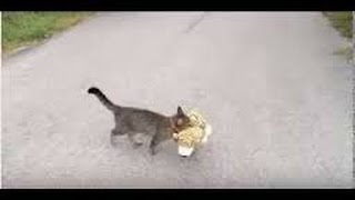 My cat went to the neighbours to borrow a tiger plush toy