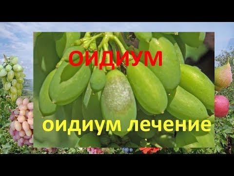 Оидиум или мучнистая роса на винограде  Оидиум лечение