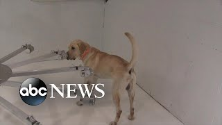 The New Normal: COVID-19 Sniffing Dogs