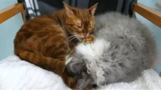 あねごとシエロは一緒にいることが多いです。 ほっこり猫ライフLINEスタ...