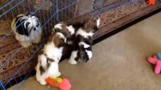 Adorable Maltese Shihtzu Puppies