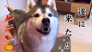 Doggy Boxを貰って喜んでるシベリアンハスキー ㊗︎遂に来た!ジャーキー案件㊗︎ thumbnail
