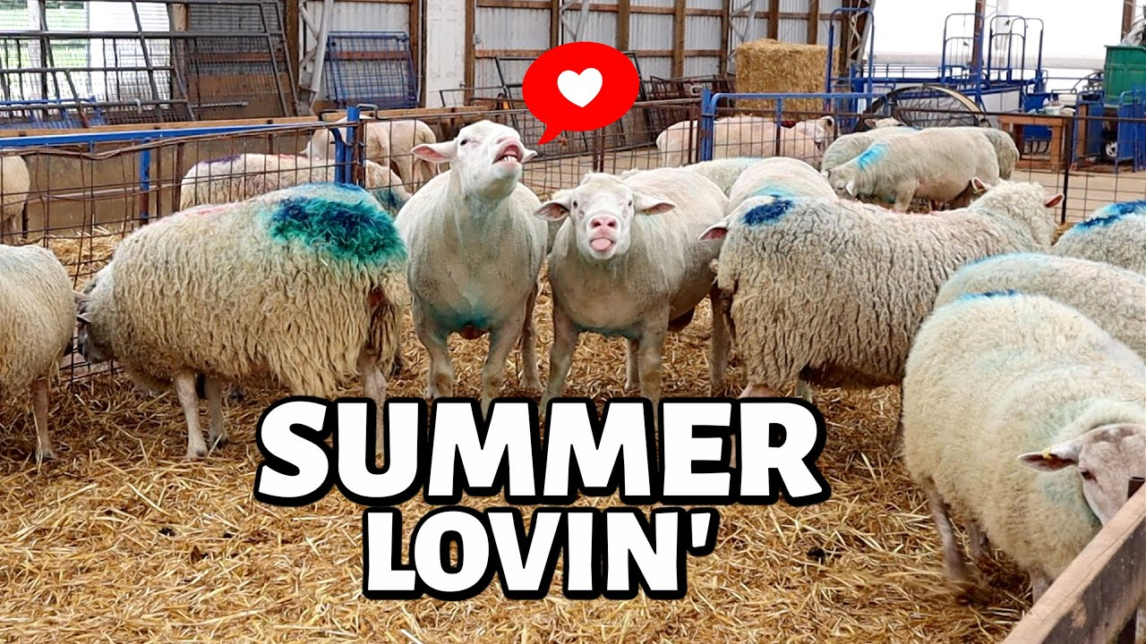 How We Breed Our Sheep in the Summer!  (OUT OF SEASON BREEDING):  Vlog 330